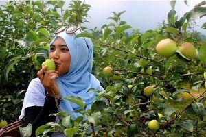 Paket Wisata Malang Batu 3 Hari 2 Malam - Petik Apel