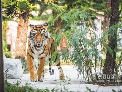 Paket Honeymoon Bromo Malang 2 Hari 1 Malam Jatim Park 2 Secret Zoo Tiger